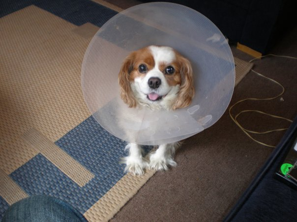 Yup, the cone of shame.  He wears it with aplomb.